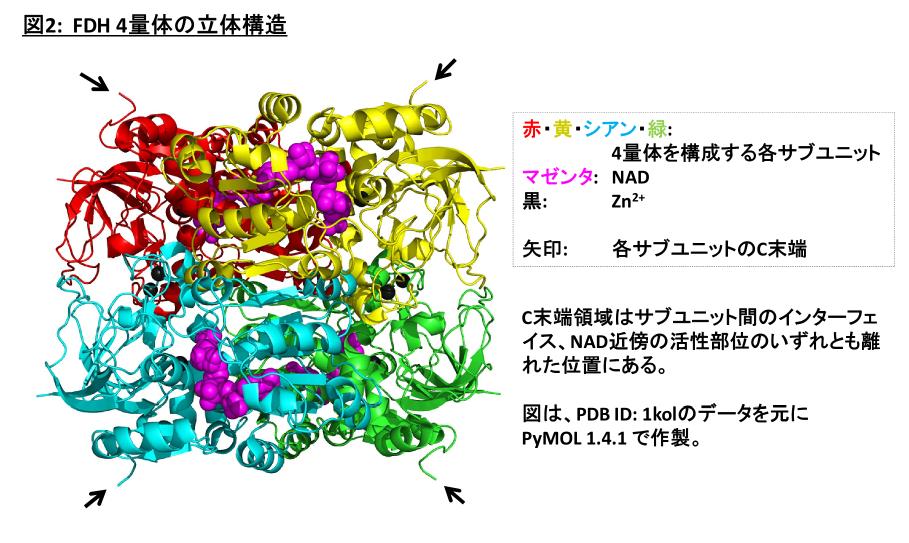 FDH 4量体の立体構造