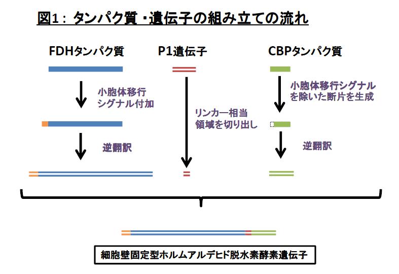 タンパク質 ・遺伝子の組み立ての流れ